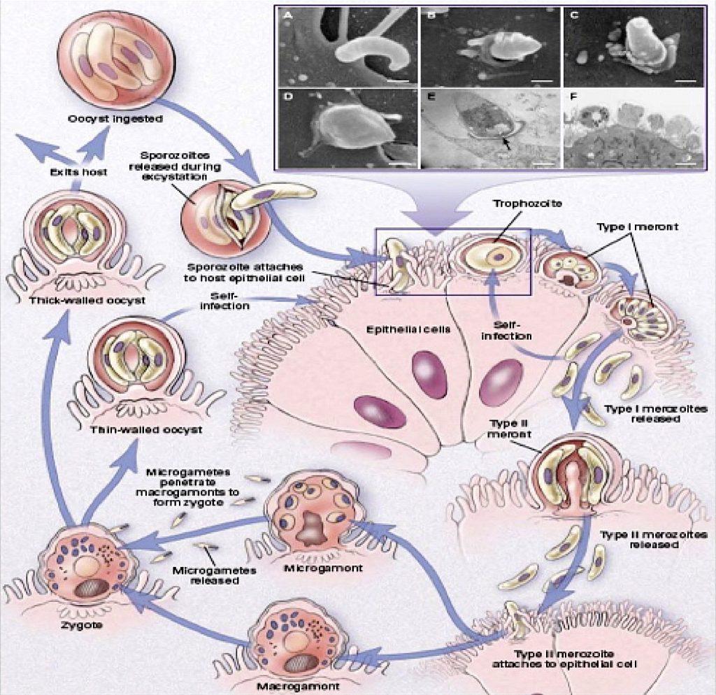 Rys. 1. Cykl rozwojowy Cryptosporidium parvum [12]