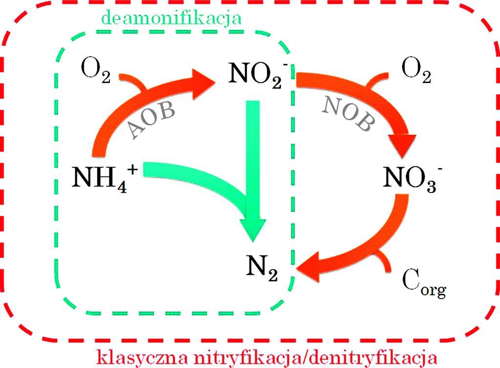 Rys. 5. Schemat przemiany azotu w procesie nitryfikacji–denitryfikacji oraz procesu deamonifikacji