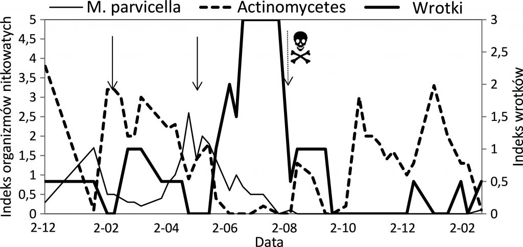 Rys. 4 Zagęszczenie wrotków w oczyszczalni i ich wpływ na M. parvicella i Actinomycetes
