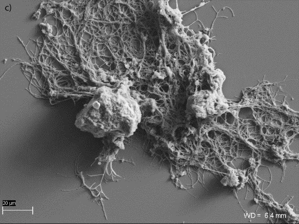 Ryc. 5 Mikrofotografia SEM, Laboratorium Geomikrobiologiczne UW: c) agregaty preparatu BX10 z przylegającymi komórkami promieniowców