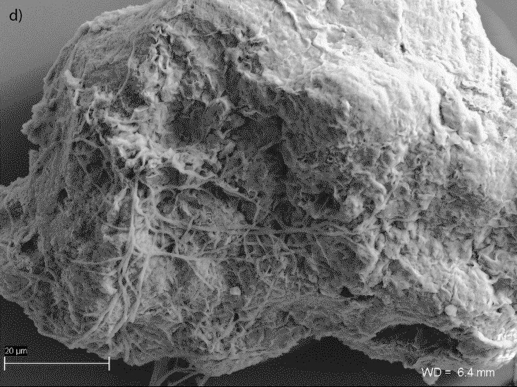 Ryc. 5 Mikrofotografia SEM, Laboratorium Geomikrobiologiczne UW: d) agregaty preparatu BX10 z przylegającymi komórkami promieniowców