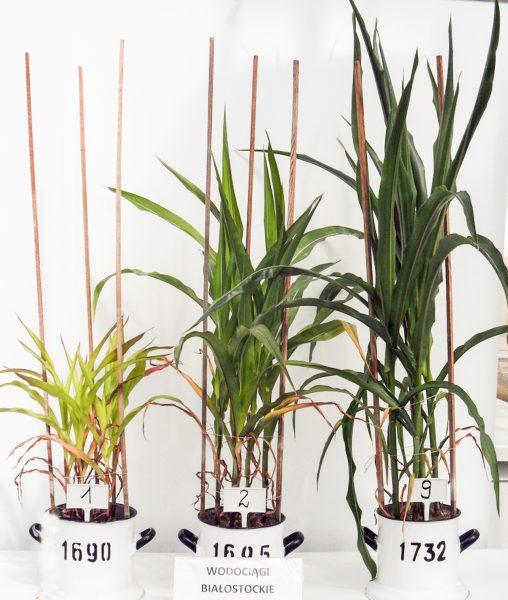 Fot. 2 Uprawa wazonowa kukurydzy (wazon 1 – kontrola, wazon 2 – nawożenia mineralne (1/2 N+P), wazon 7 – nawożenie organiczne i mineralne – Granbial (100 g) + 1/2 N+P) [fot. IUNG, Puławy]