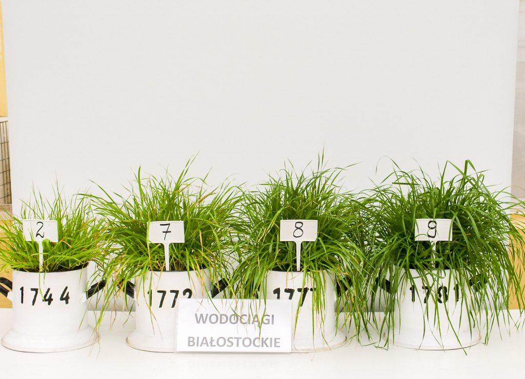 Fot. 3 Uprawa wazonowa życicy wielokwiatowej na tle wzrastających dawek nawozu Granbial [fot. IUNG, Puławy]