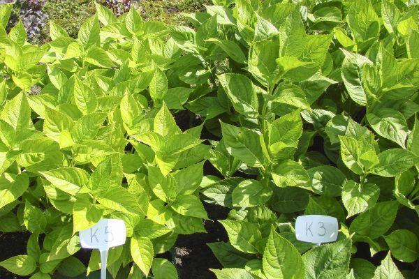 Fot. 4 Uprawa hortensji ogrodowej nawożonej nawozem Azofoska (z lewej) oraz nawozem Granbial (z prawej) [fot. Instytut Ogrodnictwa w Skierniewicach]