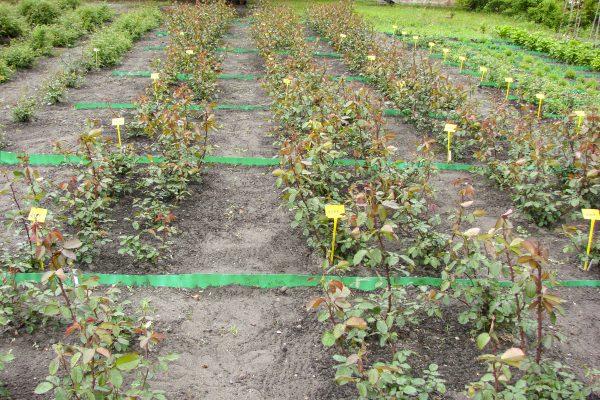 Fot. 5 Uprawa róż na polu doświadczalnym [fot. Instytut Ogrodnictwa w Skierniewicach]
