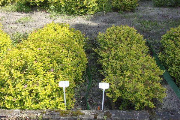 Fot. 6 Krzewy tawuły japońskiej nawożone nawozem Granbial (z lewej) oraz nawozem Azofoska (z prawej) [fot. Instytut Ogrodnictwa w Skierniewicach]